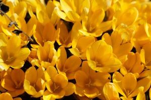 crocus lots of yellow