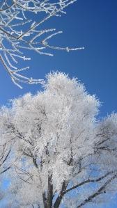 frosty tree 1