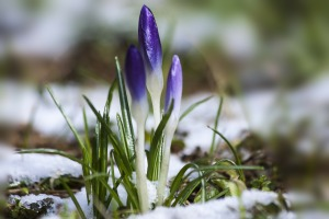 purple crocus snow
