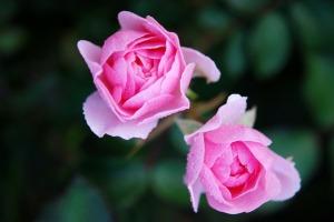 roses c