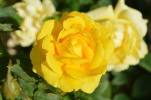roses e