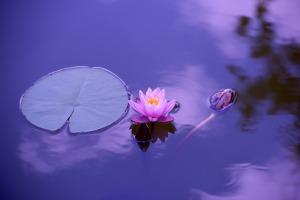 lotus flower 5
