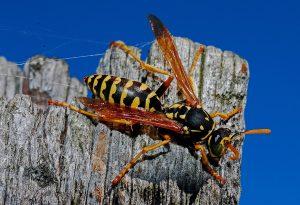 wasp-2