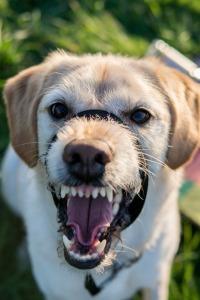 angry-dog-2